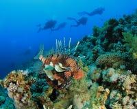 скуба lionfish водолазов стоковые фотографии rf