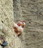 Скульптура петуха всматриваясь из окна Стоковое Изображение RF