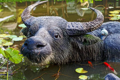Скульптура буйвола в озере Стоковая Фотография