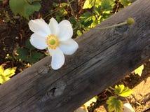 Склонность белого цветка на древесине Стоковая Фотография RF