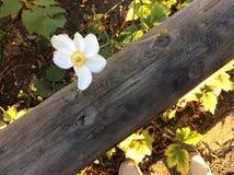 Склонность белого цветка на древесине Стоковая Фотография