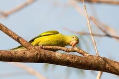 Склонность птицы длиннохвостого попугая на ветви дерева Стоковые Изображения RF