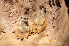 Склонность Meerkats против утеса Стоковая Фотография