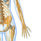 Слабонервная система женского тела Стоковое Фото