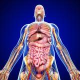 Слабонервная система с циркуляцией в человеческое тело иллюстрация вектора