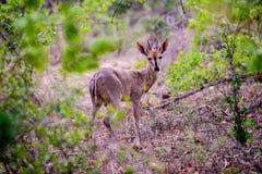 Слабонервный steenbok в лесе Стоковые Фото