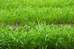 Слава утра болота органическая в ферме Таиланде Азии стоковая фотография rf