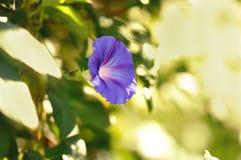 Слава утра цветка стоковые фото