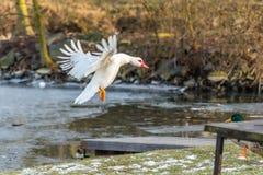 Славная белая посадка утки или утки muscovy на траве около озера Стоковые Фото