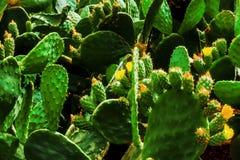 Славная зеленая предпосылка лист от кактуса Стоковые Фотографии RF