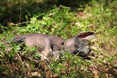 Славная китайская crested собака в лесе Стоковое Изображение RF
