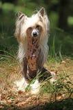 Славная китайская crested собака в лесе Стоковая Фотография