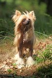 Славная китайская crested собака в лесе Стоковые Фотографии RF