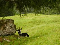 Славная коза в зеленом луге стоковое фото rf