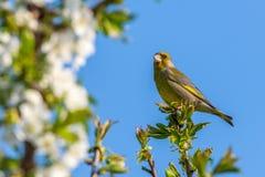 Славная мужская птица greenfinch садилась на насест на верхней части ветви вишневого дерева Стоковые Фотографии RF