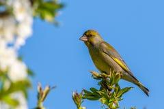Славная мужская птица greenfinch садилась на насест na górze ветви вишни Стоковые Изображения RF