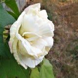 Славное белое вечнозелёное растение подняло стоковое изображение rf
