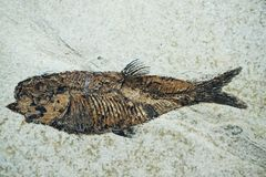 славное ископаемый рыб Стоковые Изображения RF