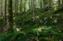Славно загоренный лес с много мхом на том основании, Словения, Европа стоковые фото