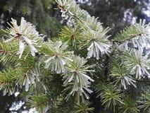 Славные ветви ели в заморозке, Литва Стоковое Изображение