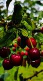Славные красные вишни для ваша здоровой Стоковое фото RF