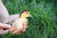 Славный желтый утенок идя в траву стоковая фотография rf