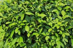 Славный конец вверх по взгляду малых листьев зеленого растения зеленый цвет предпосылки красивейший Стоковые Фото