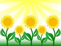 славный солнцецвет Стоковое Фото