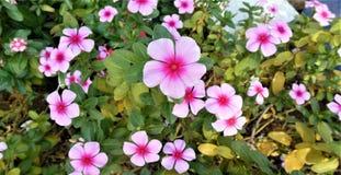 Славный цветок барвинка стоковые изображения rf