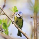 Славный titmouse птицы сидя на ветви в парке в предыдущем spri Стоковое фото RF