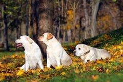 3 славных желтых labradors в парке в осени Стоковые Фото