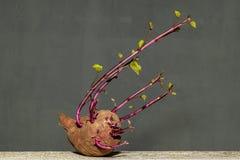 Сладкий картофель с профилем портрета листьев стоковая фотография
