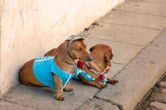 2 сладких красных собаки Duchshund нося случайные яркие одежды, футболки, крышку, бабочек сидят на стене на улице стоковые фото