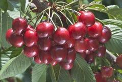 Сладостная вишня Стоковые Фото