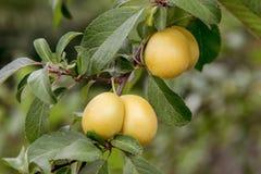 Сладостная желтая слива зреет на дереве в саде Стоковое фото RF
