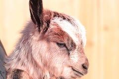 Сладостная коза младенца Стоковое Изображение