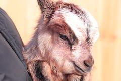 Сладостная коза Стоковые Изображения RF