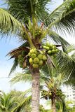 Сладостная кокосовая пальма Стоковая Фотография RF