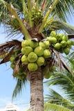 Сладостная кокосовая пальма Стоковое фото RF