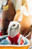 Сладостная собака с взглядом платья Санта Клауса что-то Стоковые Изображения