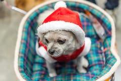 Сладостная собака с взглядом платья Санта Клауса что-то Стоковые Изображения RF