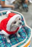 Сладостная собака с взглядом платья Санта Клауса что-то Стоковое Изображение
