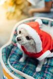Сладостная собака с взглядом платья Санта Клауса что-то Стоковая Фотография RF