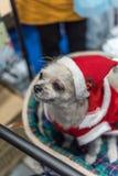 Сладостная собака с взглядом платья Санта Клауса что-то Стоковое фото RF