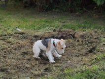 Сладостная собака терьера играя на том основании стоковые изображения rf