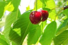 Сладостные вишни на ветви Стоковое Фото