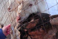 Сладостные козы Стоковые Изображения