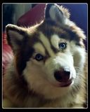 Сладостный осиплый щенок Стоковые Фото