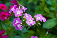 Сладостный розовый цветок dianthus Стоковые Изображения RF