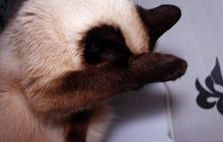 Сладостный сиамский кот, мыть его лапка за его ухом против фона комнаты стоковое изображение rf